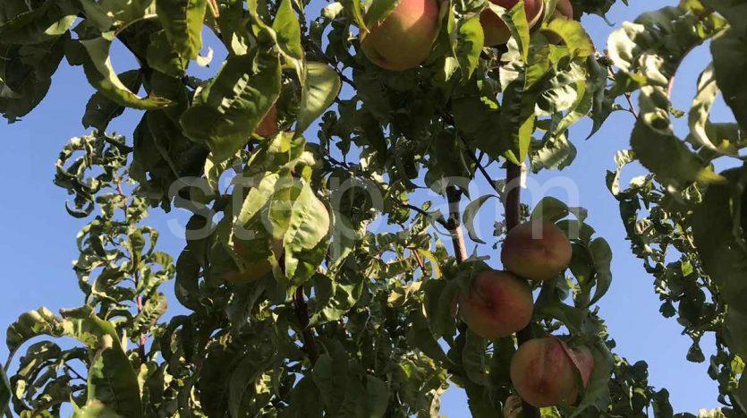 fruit garden in Zoravan